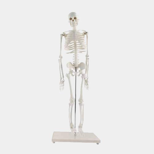 Modelo Esqueleto Tamaño Escritorio
