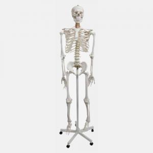 Esqueleto Humano de Tamaño Natural