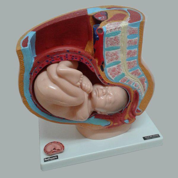 Torso de Embarazo RealCare